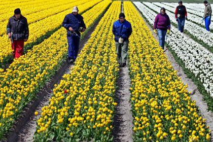 <strong>Tulpen koppen lemmer</strong>